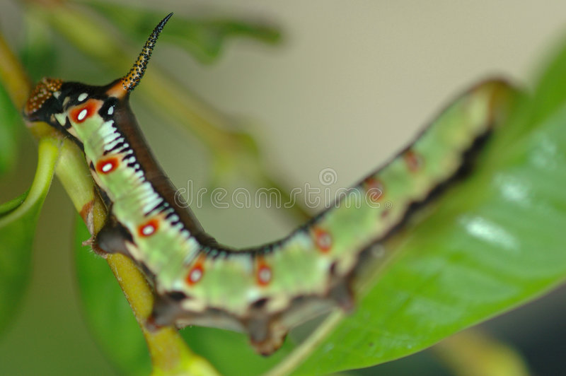 Download Green Caterpillar On Leaf Stock Photography - Image: 207102