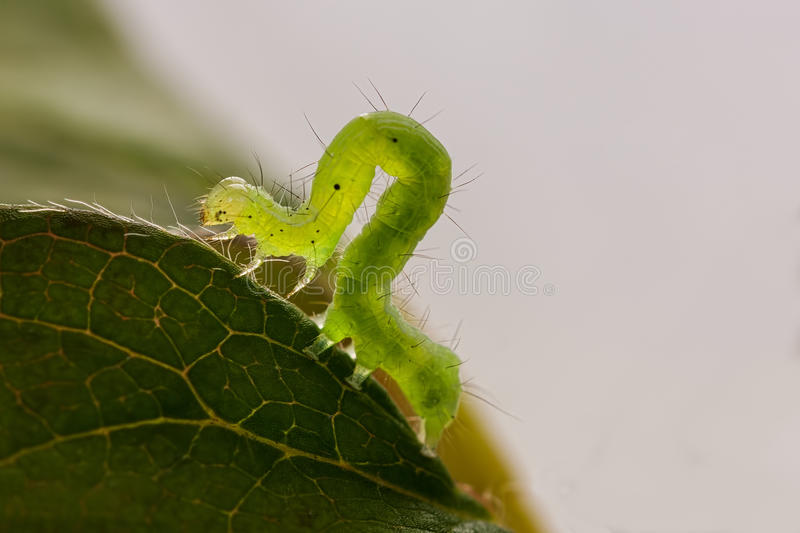 Green caterpillar macro royalty free stock photos