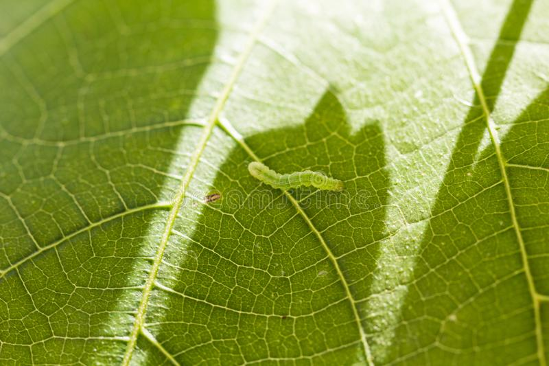 Green caterpillar. Macro photo of a green caterpillar on fig leaf royalty free stock images