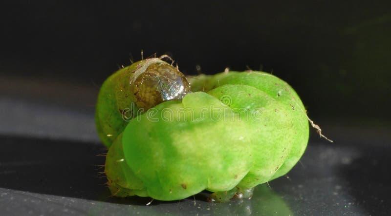 Green Caterpillar - Macro Photography - UK stock photo