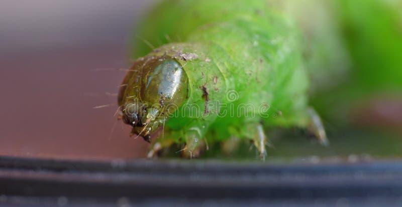 Green Caterpillar - Macro Photography - UK royalty free stock photo