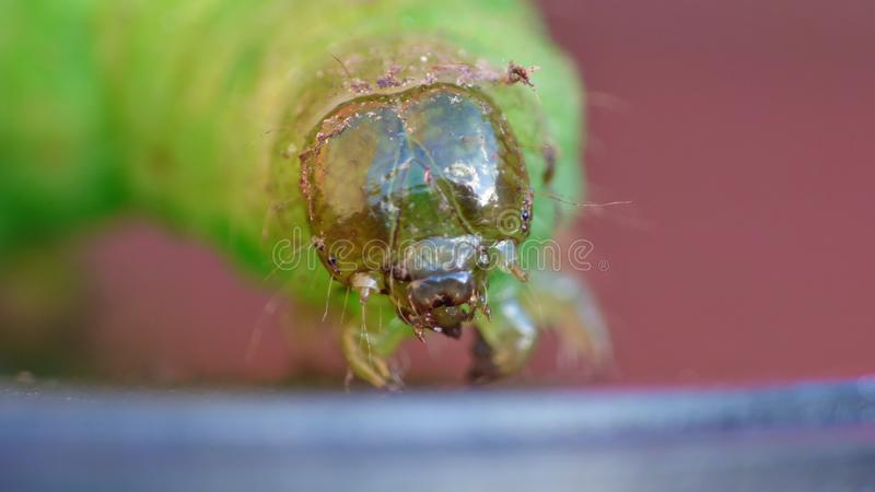Green Caterpillar - Macro Photography - UK. Green caterpillar close up macro photography. photo taken in the United Kingdom stock image