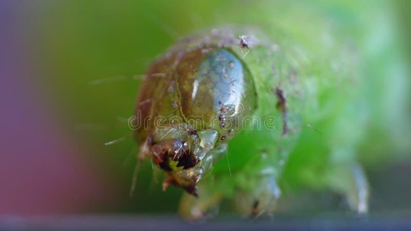 Green Caterpillar - Macro Photography - UK. Green caterpillar close up macro photography. photo taken in the United Kingdom royalty free stock photo