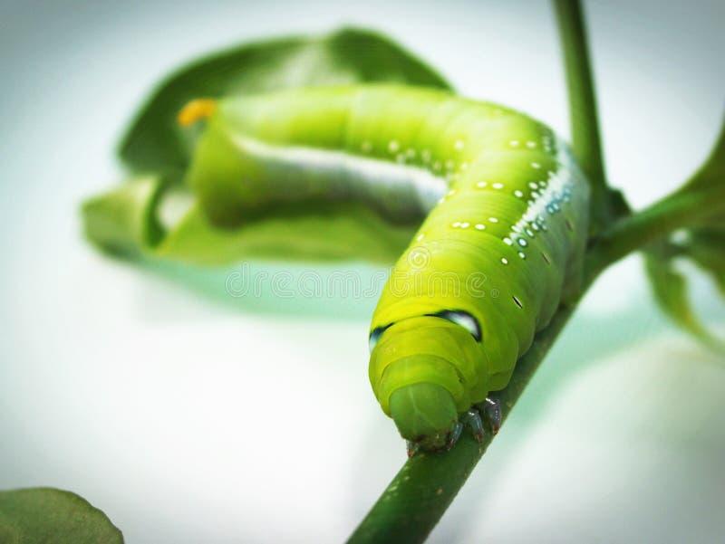 Green Caterpillar On Plant Free Public Domain Cc0 Image