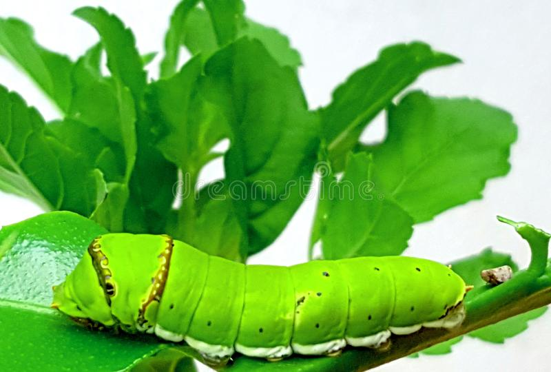 A Caterpillar Resting on a Twig. A green caterpillar resting on a twig after finishing the lemon leaf stock images