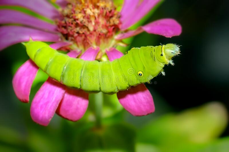 Green caterpillar. Small-headed insect animals with large bodies on flowers. Green caterpillar. Small-headed insect animals with large bodies on top. Rice stock photo