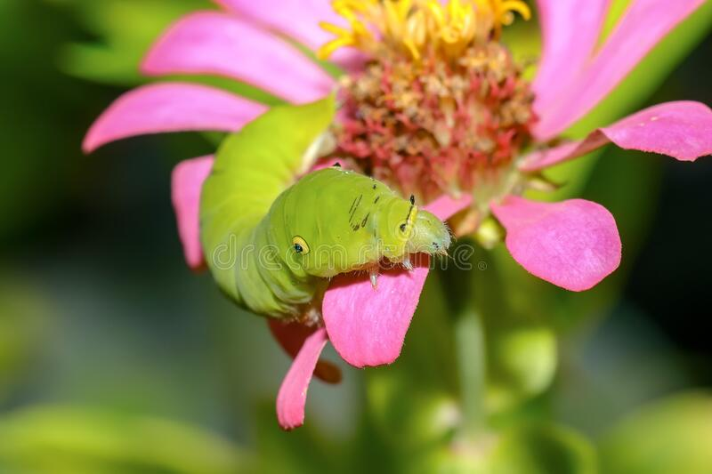 Green caterpillar. Small-headed insect animals with large bodies on flowers. Green caterpillar. Small-headed insect animals with large bodies on top. Rice royalty free stock photos