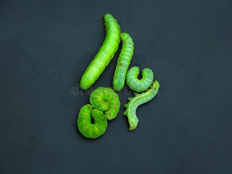 Green caterpillars royalty free stock images
