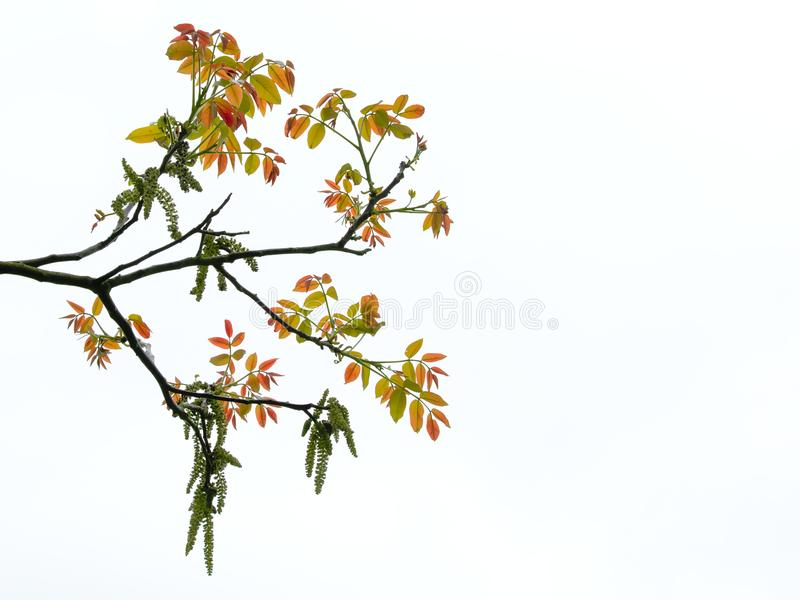 Green catkins and young red leafs of a walnut tree, isolated on white - Juglans nigra. Green catkins and young red leafs of a walnut tree in spring, isolated on stock photo