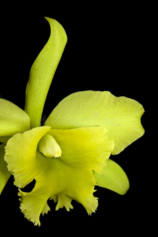 Green catleya orchid stock photo