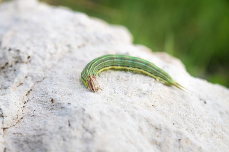 Green caterpillar with yellow stripes, El Remate, Peten, Guatemala royalty free stock photography