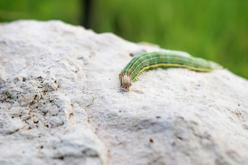 Green caterpillar with yellow stripes on a stone, El Remate, Peten, Guatemala royalty free stock photography