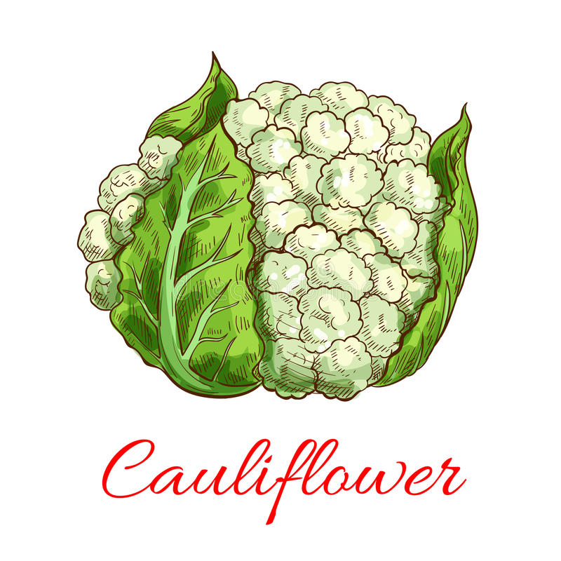 Green cauliflower vector vegetable. Cauliflower vector vegetable. Vector sketch emblem of green fresh cauliflower head with leaves. Vegetarian and raw food stock illustration