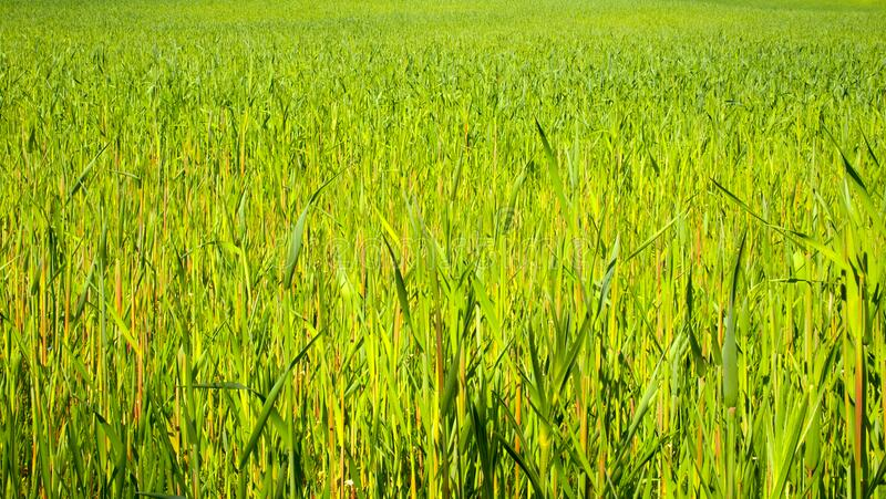 Green cereal in the spring a large field of young grain. Light green plants on a huge sown field stock photography