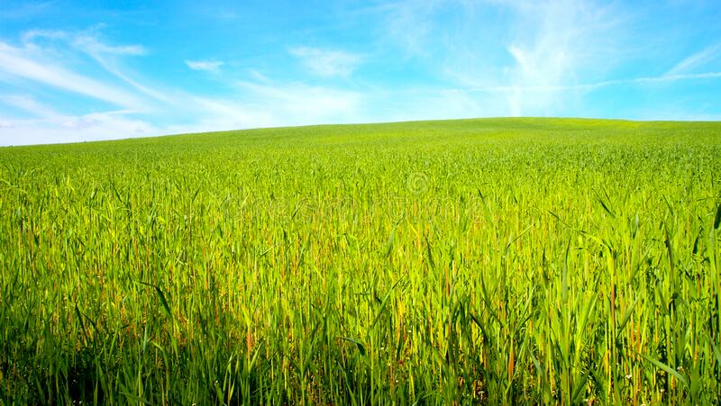 Blue sky Green cereal in the spring a large field of young grain. Green cereal in the spring a large field of young grain, light green plants on a huge sown stock photo