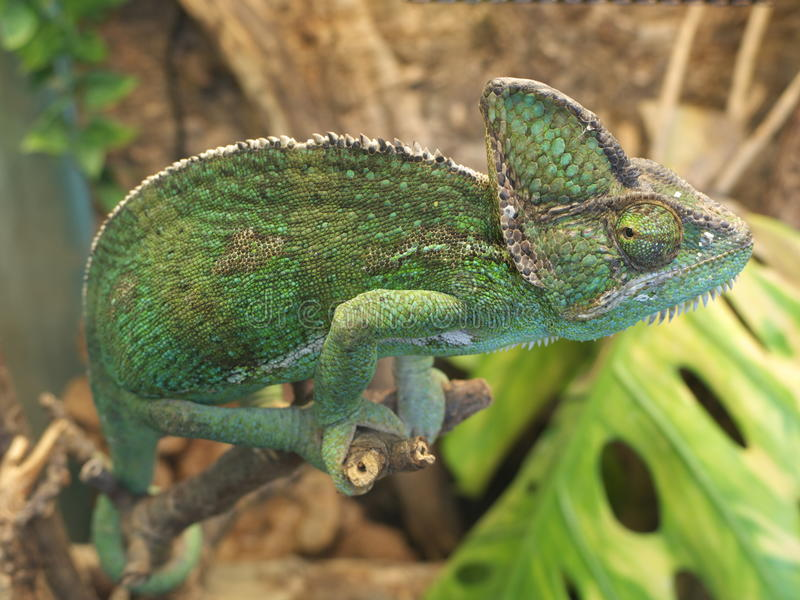 Download Green chameleon stock image. Image of skin, leaves, outside - 17935543