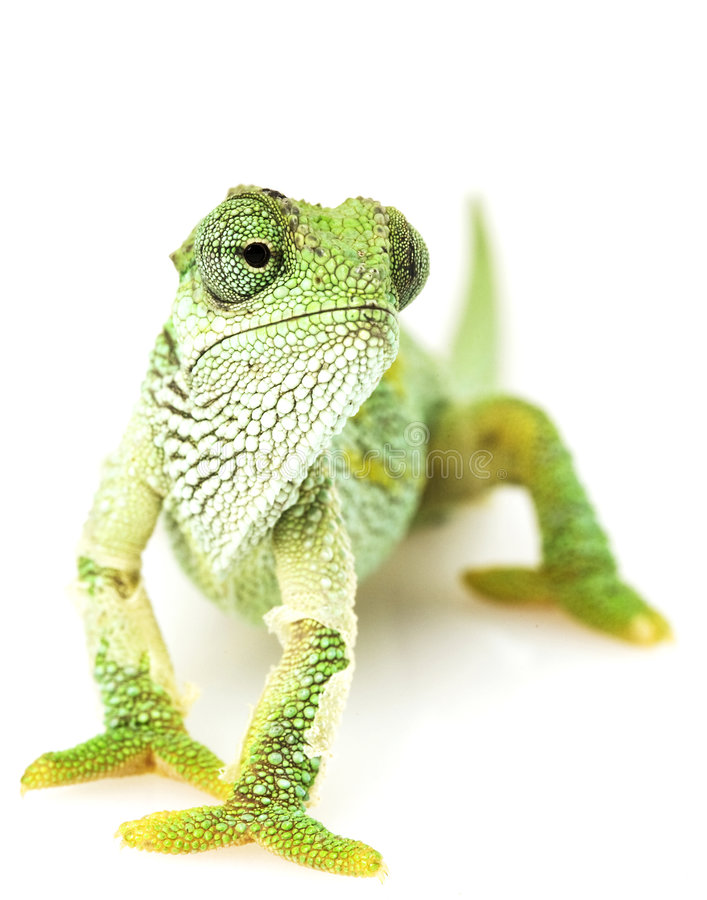 Download Green Chameleon stock image. Image of mouth, looking, nature - 6264141