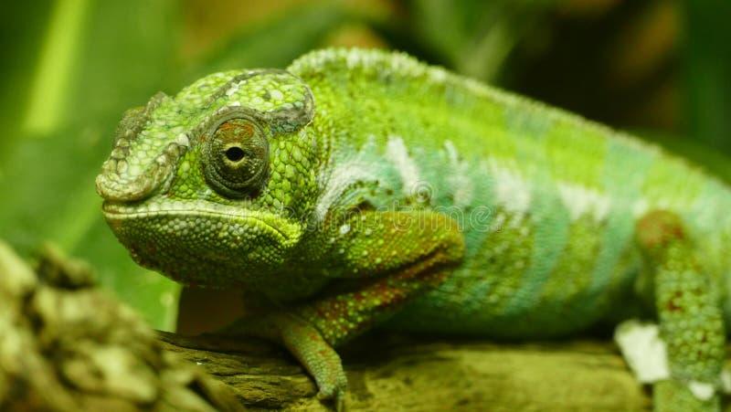 Green Chameleon Free Public Domain Cc0 Image