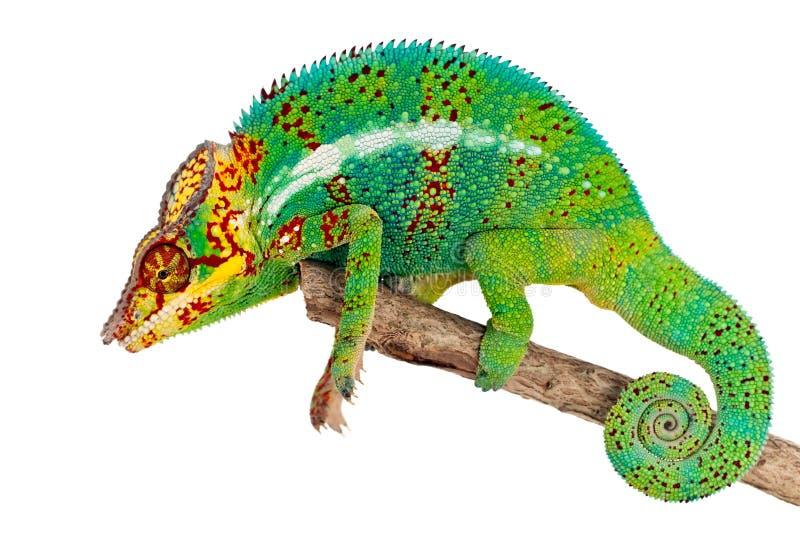 Green Chameleon On Branch Stock Photo
