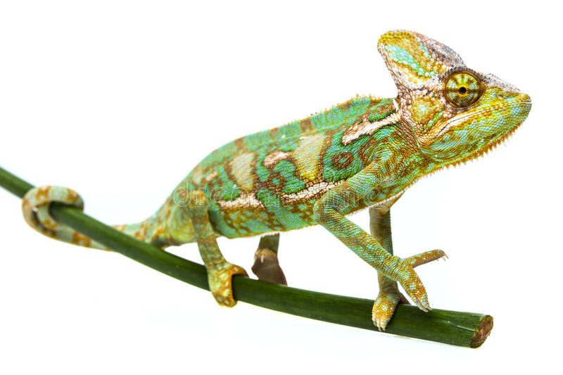Green chameleon - Chamaeleo calyptratus. Male on a branch stock photos