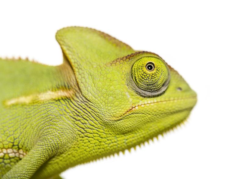 Green Chameleon, Chamaeleo chameleon. In front of white background royalty free stock photography