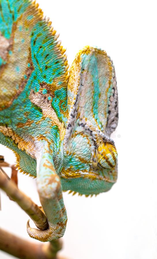 Green chameleon close-up on a white background. royalty free stock photography
