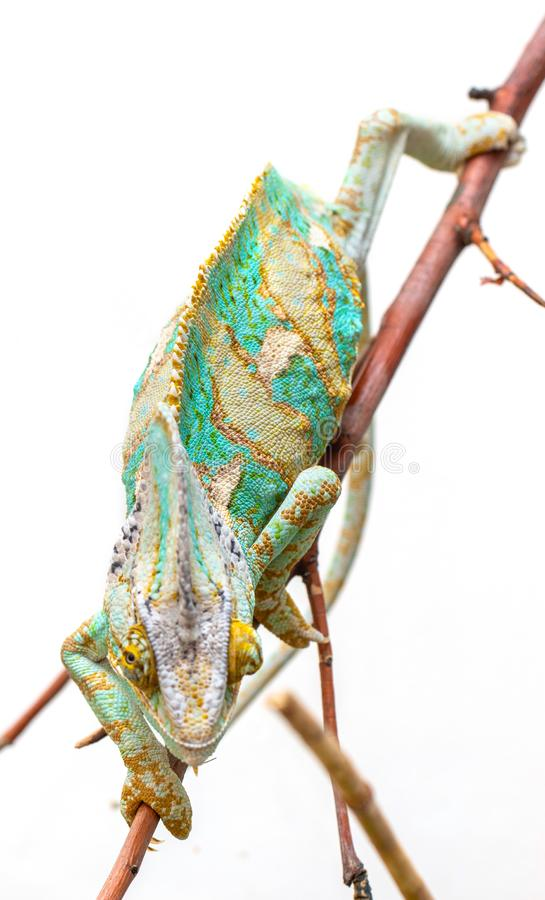 Green chameleon close-up on a white background. stock photo