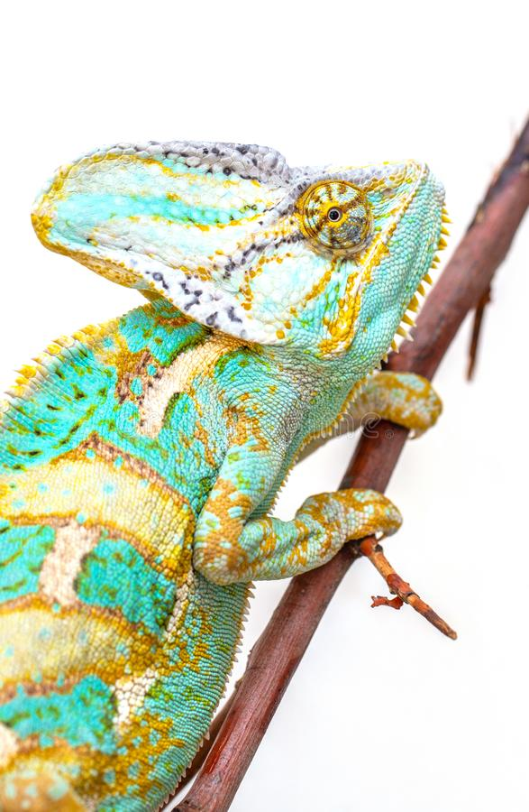 Green chameleon close-up on a white background. stock images