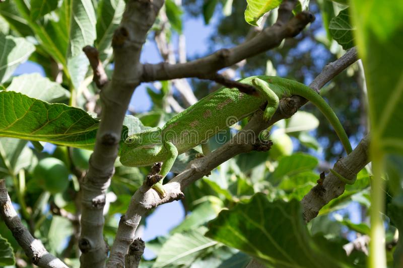 Green chameleon on a fig tree [2]. Green chameleon camouflaging in a fig tree stock photography