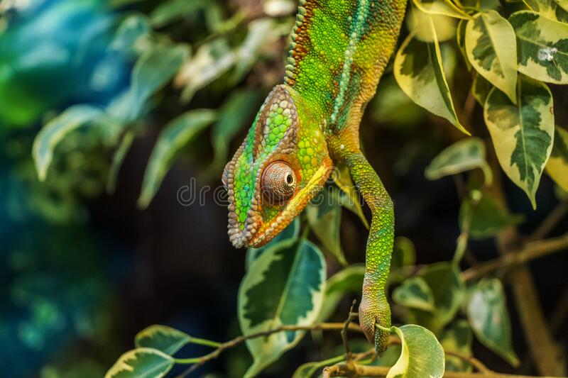 Green Chameleon On Green Leaved Tree Free Public Domain Cc0 Image
