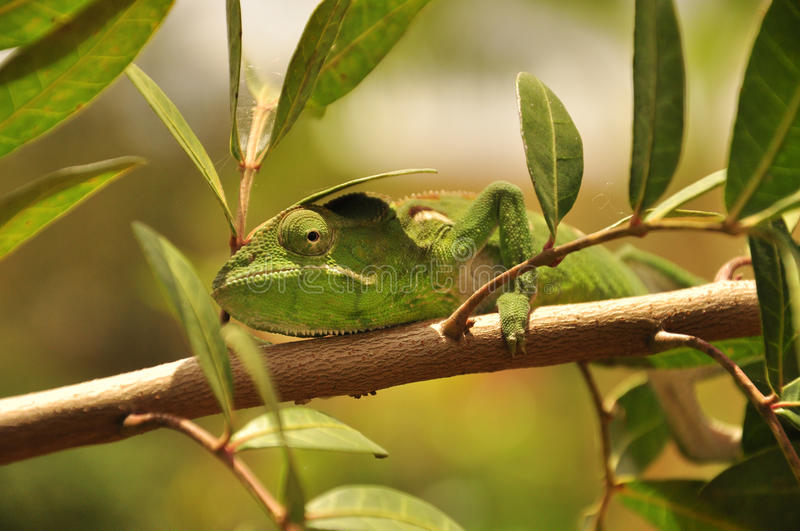 Green chameleon. In a pepper tree, endemic species stock image