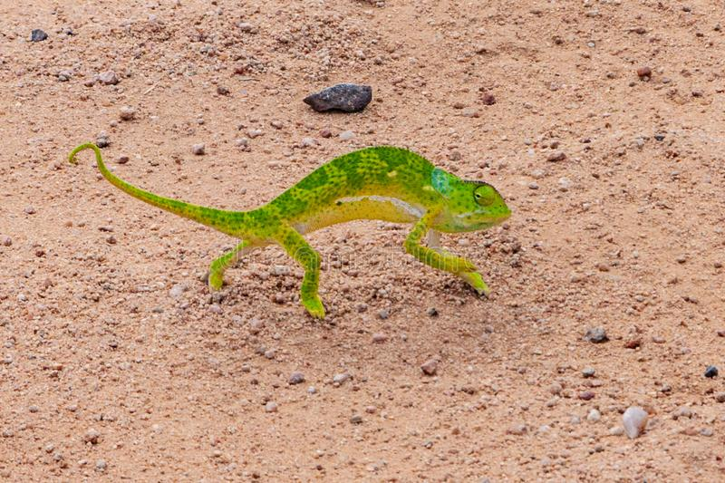 Green Chameleon on the road stock images