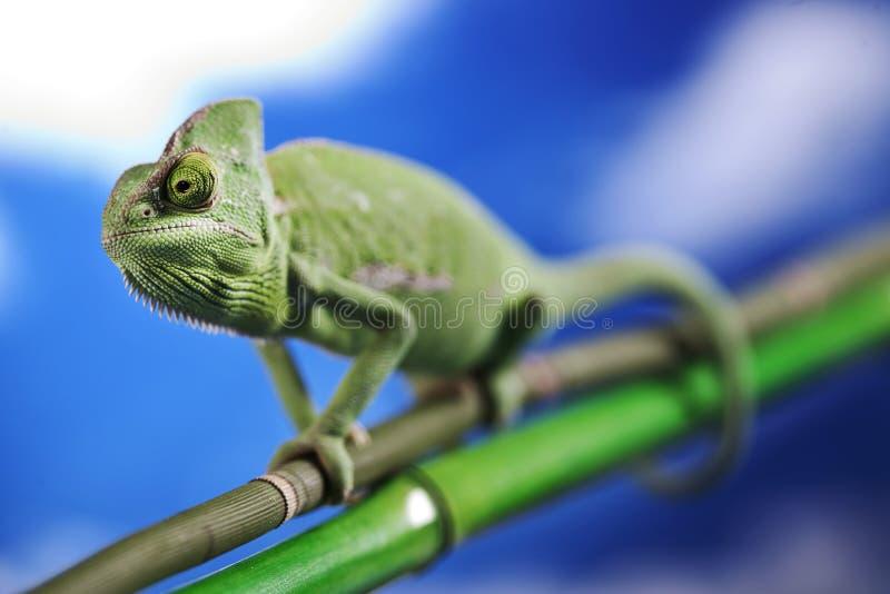 Green chameleon on sky royalty free stock image