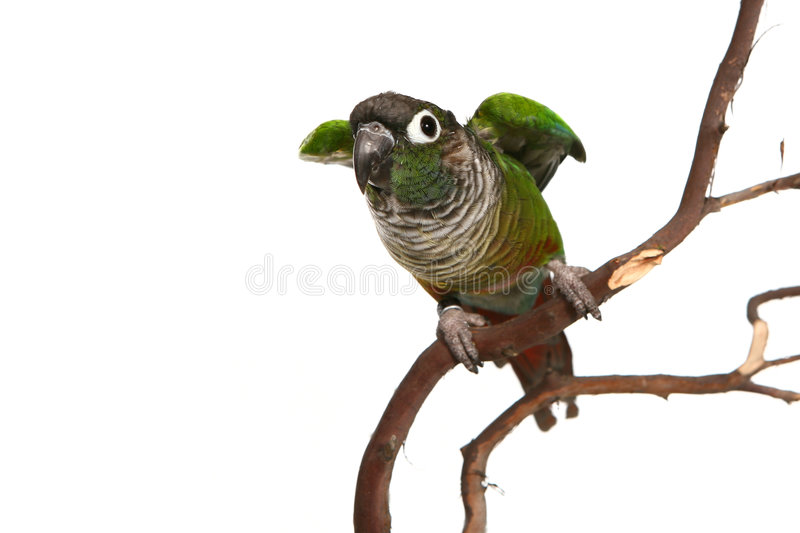 Green Cheek Conure. On Branch Ready to Fly Away stock photography