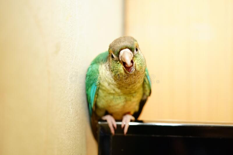 Green cheek conure bird face angry. Singing on wood background royalty free stock photography