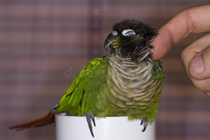 Green Cheek Conure Gets an Itch Scratched stock photo