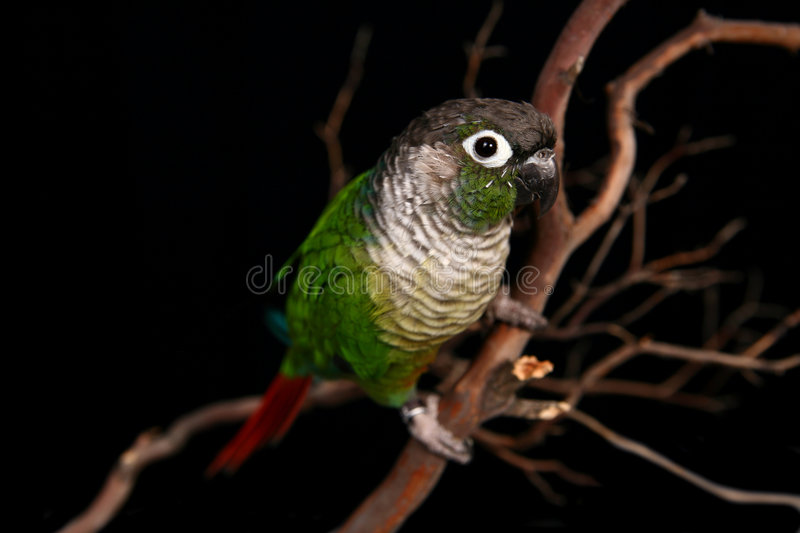 Green Cheek Conure on a Tree Branch. Green Cheek Conure in High Depth of Field on a Branch royalty free stock images
