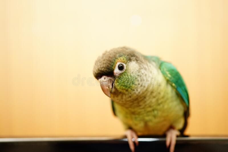 Green cheek conure. On wood background royalty free stock photos