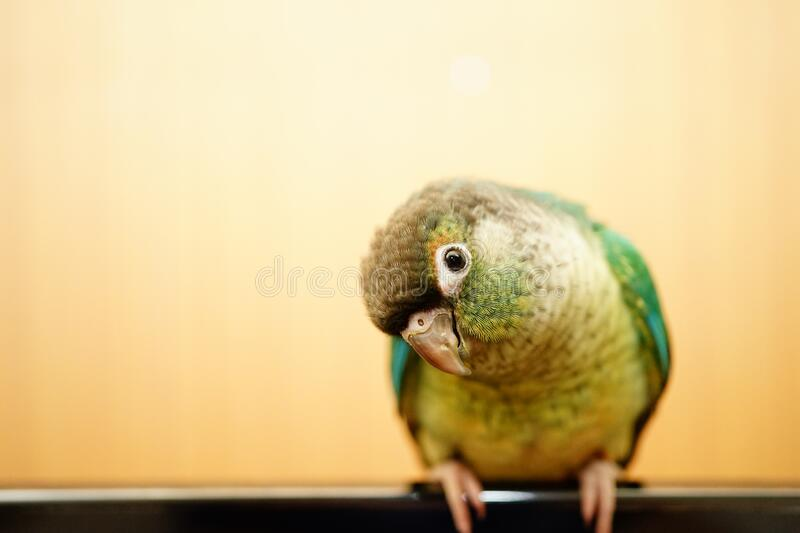 Green cheek conure. On wood background royalty free stock image