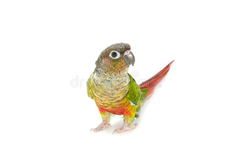 Green-cheeked conure bird. On white background royalty free stock image