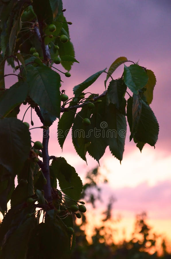 Green cherries. Branch on a sunset background. royalty free stock photo