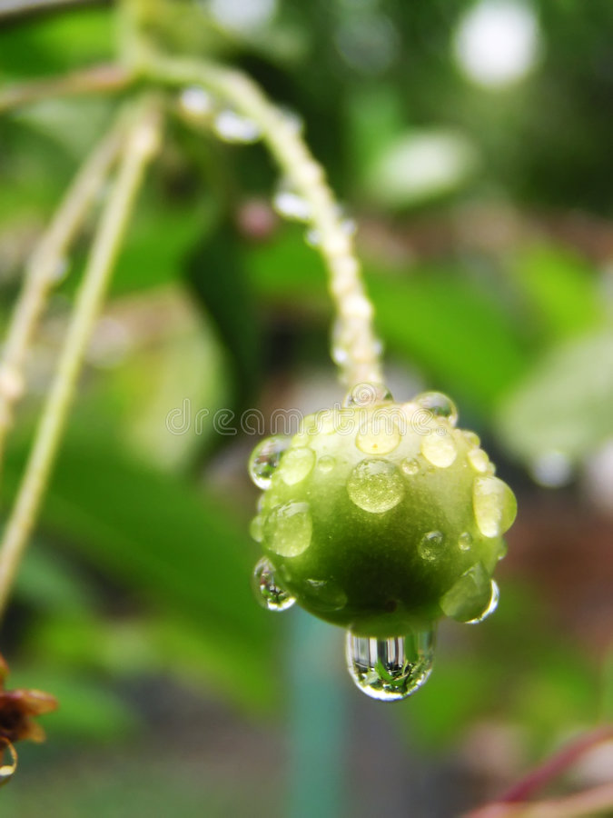 Green cherry. With drops stock photos