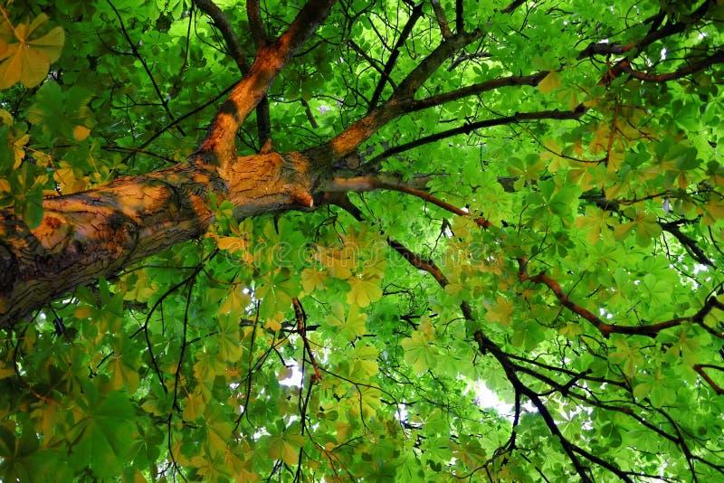 Green chesnut tree canopy at spring stock photos