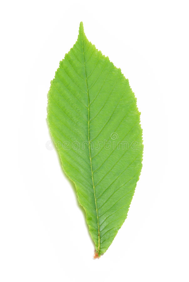 Green chestnut leaf stock photos