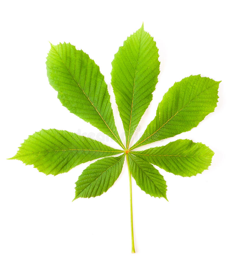Green chestnut leaf. Green leaf chestnut isolated on white background royalty free stock photo