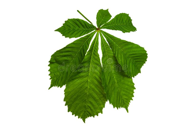 Green chestnut leaves on a white background royalty free stock photo