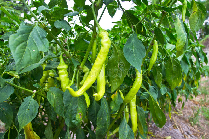 Download Green chilli peppers stock image. Image of leaf, garden - 24855301