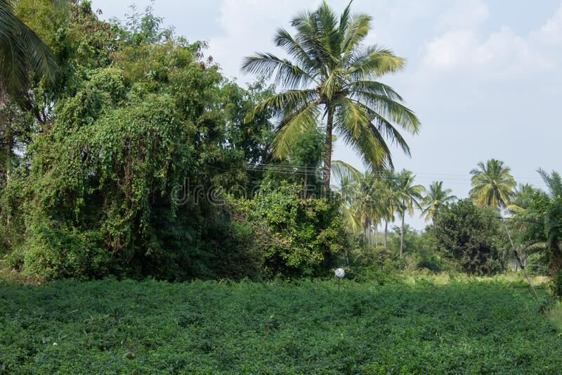 Green chilli plantation near Kolar, Karnataka, India. Green chilli pepper farm.  royalty free stock images