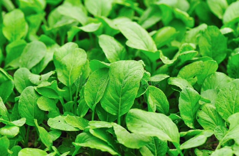 Download Green choysum stock photo. Image of lush, crops, green - 26620398