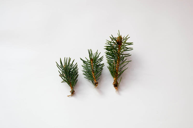 Green Christmas tree needles royalty free stock image